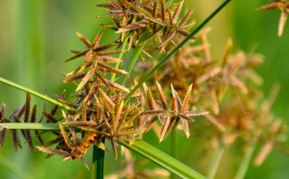 extrapone nutgrass